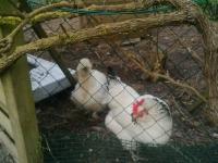 poules2